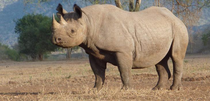 spitzmaulnashorn black rhino aware germany e v. Black Bedroom Furniture Sets. Home Design Ideas
